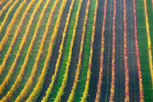 Rows Of Vineyard Grape Vines